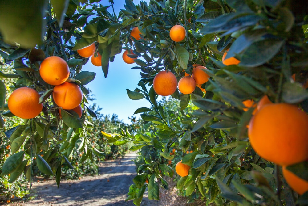 Florida Orange Grove Trees