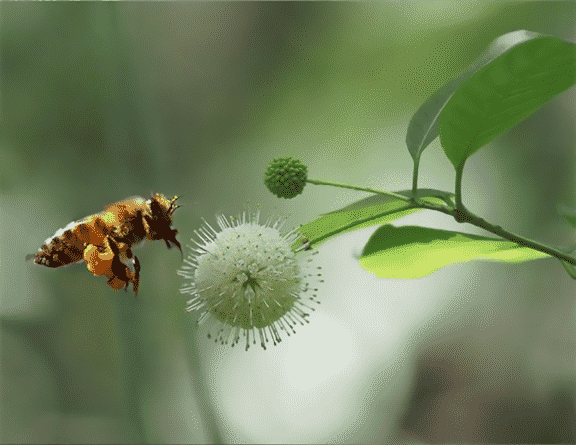 Honey Bee Pollinating Tupelo Flower