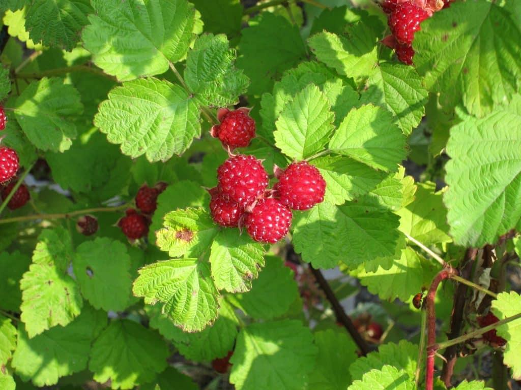 Raspberry blossom honey from the great USA northwest
