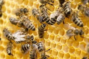 bees on honeycomb cells