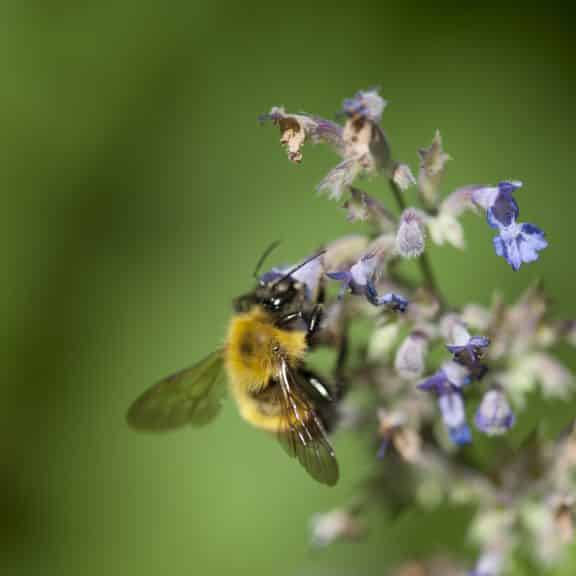 Honeybee Pollinating Wildflower